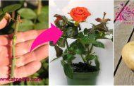 آموزش تکثیر گل رز چیده شده با سیب زمینی !!!